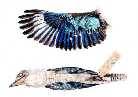 blue-winged-kookaburra0042
